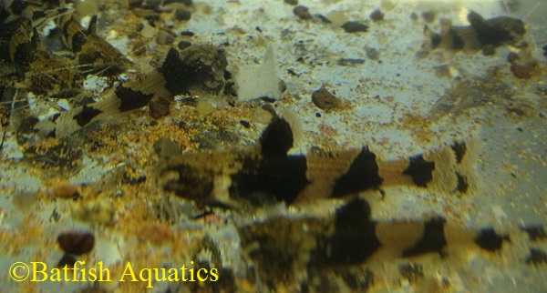 Akysis vespa, the Wasp Catfish, is a small aquarium catfish.