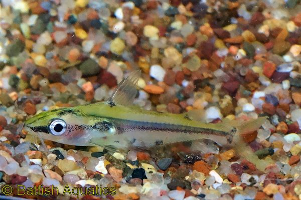 Shadow Catfish, Hyalobagrus flavus