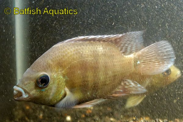 A large, gentle giant, the Pearsei or Pantano Cichlid is a large guapote that is relatively peaceful