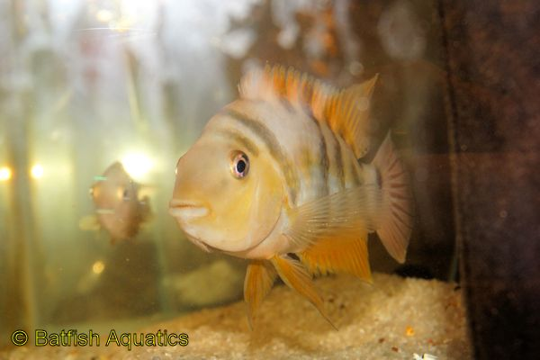 A close relative of the Convict, the Siquia cichlid is a popular alternative