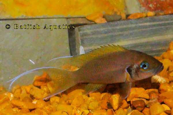 Neolamprologus brichardi, the Fairy Cichlid