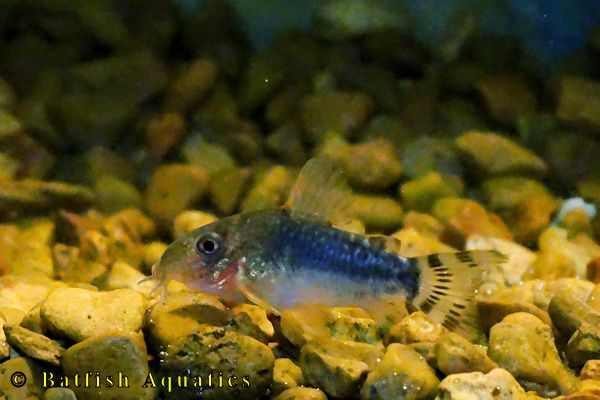 Corydoras gossei, also known as the Pale Spotted Cory Cat