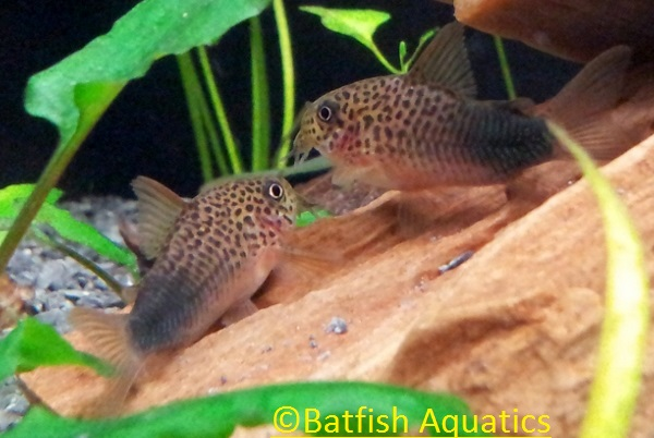 Corydoras similis variant Violet, the purple cory cat