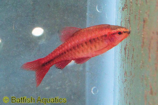 The bright red Cherry Barb is an excellent aquarium fish