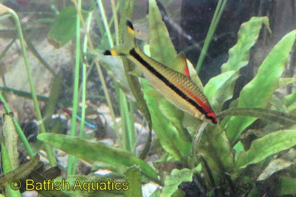 Red Line Torpedo Barbs, Puntius denisoni, are excellent aglae eating fishes.