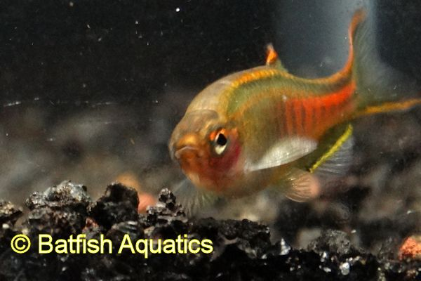 Glowlight Danios, Danio choprae, have been reclassified as Celestichthys choprae