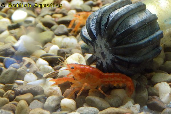 The CPO, Cambarellus patzcuarensis Orange Crayfish is a beautiful dwarf crayfish