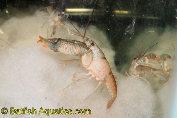Dwarf Crayfish, like this one, are an interesting addition to a planted aquarium.