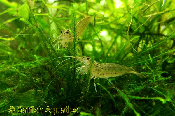 Amano Shrimp, Algae Eating Shrimp