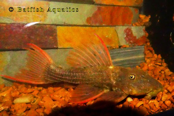 Red Fin Cactus Pleco, the L024 Pleco.