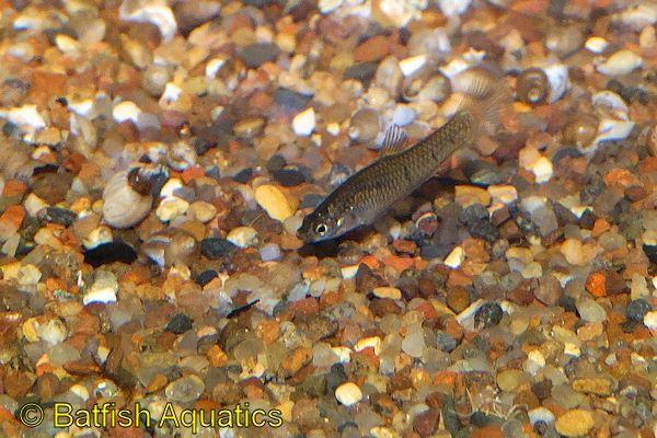 Phalloptychus januarius is a small, rare livebearing fish.