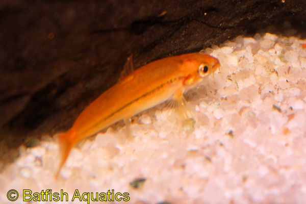 The Rosy Loach is a small, pink loach known as Tuberschistura arakanensis.