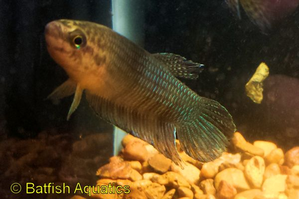 Betta simorum is a species of wild betta fish.