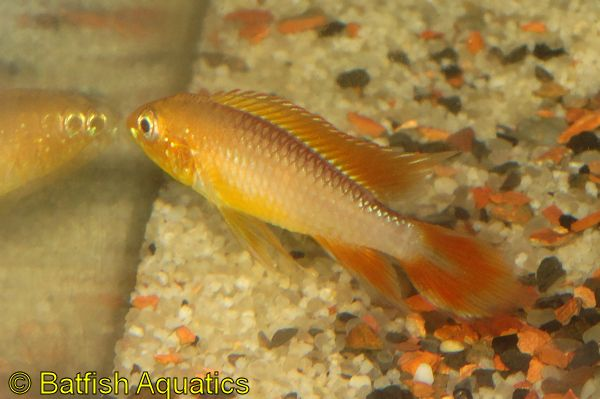 Fire Red Apistogramma agassizii