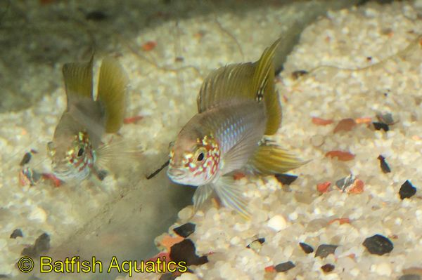 The Yellow Head Umbrella Cichlid, Apistogramma borellii
