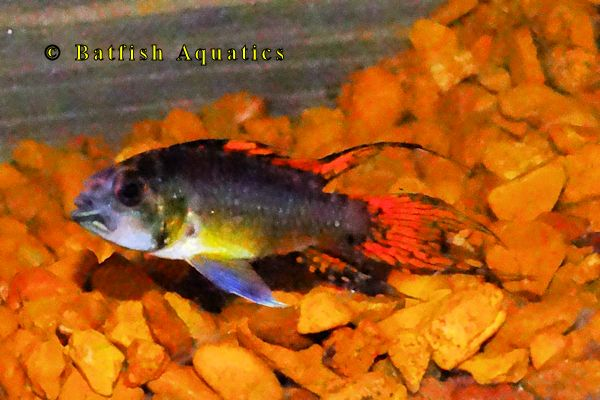 Apistogramma cacatoides triple red