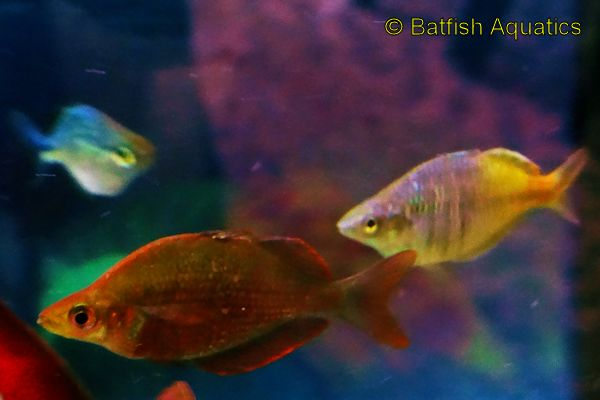 Red Rainbow Fish, Glossolepis incisus.